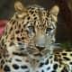 Panthera pardus orientalis, Philadelphia Zoo