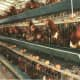 An automatic drinking, feeding design layer chicken cage