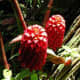 Red Beehive Ginger - Used in Flower Arranging