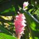 Pink Ginger -  Used in Flower Arranging