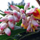 Pink Shell Ginger - Used in Flower Arranging