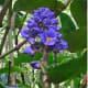 Blue Hawaiian Ginger Flower Plant