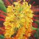 Hawaiian Kahili Ginger Plant