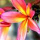 hawaiiflowers