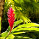 Red Ginger -  Used in Flower Arranging