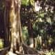 Moreton Bay Fig Tree at Edison home in Florida
