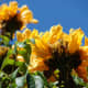 yellow colored spathodea flowers