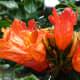 orange colored spathodea flowers