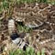 Notice the rattle on the tail? You will definitely hear it if you get close enough to a rattlesnake that feels threatened!