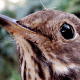 Close-up of Wren Face