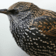 The remarkable coloration of the Commom Starling's feathers is clearly visible in this image.