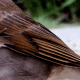 Close-up of Wren Wing