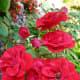 Red roses in garden