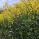 The rape crop in full bloom