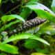 the-zebra-otocinclus-catfish
