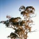 Eucalyptus camaldulensis (the river red gum)