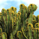 Euphorbia canariensis, a succulent species endemic to the Canary Islands
