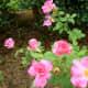Pretty Rose Garden