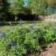 2019 bluebonnet invasion in my garden
