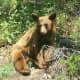 Juvenile Grizzly bear, Glacier National Park, Montana