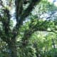 """Rain tree (Samanea saman) towering over the Spice Garden trail. This particular tree is a """"Heritage Tree"""", designated for protection and care under a programme to preserve majestic mature trees in Singapore."""