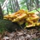 """Spectacular photo of """"Chicken of the Woods"""" taken by Joseph O'Brien, on the Bugwood Files."""
