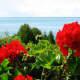 The beautiful geraniums