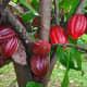 Cacao Bean (Cacao)