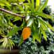 Chesa tree with ripe fruits.