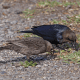 Male and Female Brown-Headed Cowbirds
