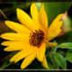 Sunflower Strip