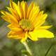 New Sunflower Bloom