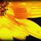 Sunflower Florets