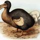 Frederick William's restoration from Rothschild's 1907 book Extinct Birds