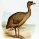 Rodrigues Solitaire the closest genetic relative of Dodo , which is also extinct