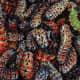 Mopani worms - a Venda delicatessen