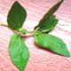 Wild herb Tawa-Tawa (Photo by Travel Man)