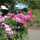 Roses in the park