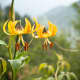Yellow Turk's cap lily