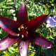 black Landini lily
