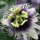 Flower of the passion fruit vine