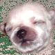 Porkie pup Pretti