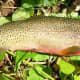 State Fish: Westslope or Blackspotted Cutthroat Trout [3]