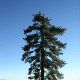 State Tree: Ponderosa Pine [5]