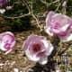 Saucer Magnolia Alexandrina originated in central China