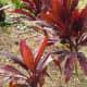 Ti Plants originally came from China to E. Asia