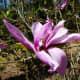 Magnolia x Betty originated in Asia