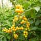 Beautiful yellow berries on shrub