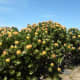 Fynbos, Sugar Bush, Leucospermun nutans at Cape Point, Cape Peninsula, South Africa