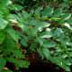 Poison sumac grows as a shrub or small tree.